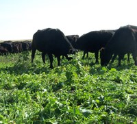 Cattle graze on a cover crop mixture. (NDSU photo)