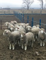 Lamb LRP means sheep producers no longer have to accept whatever the market price is on sale day. (NDSU photo)