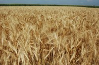 Farm bill payments of nearly $350 million on North Dakota wheat base acres are expected in 2017, for the 2016 crop. (NDSU Photo)
