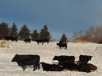 Good management includes providing cattle with adequate protection in the winter. (NDSU photo)