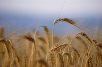 North Dakota's spring wheat yield was strong: the fourth highest on record. (Pixabay Photo)