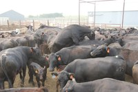 This group of cattle is being worked for artificial imsemination breeding. (NDSU photo)