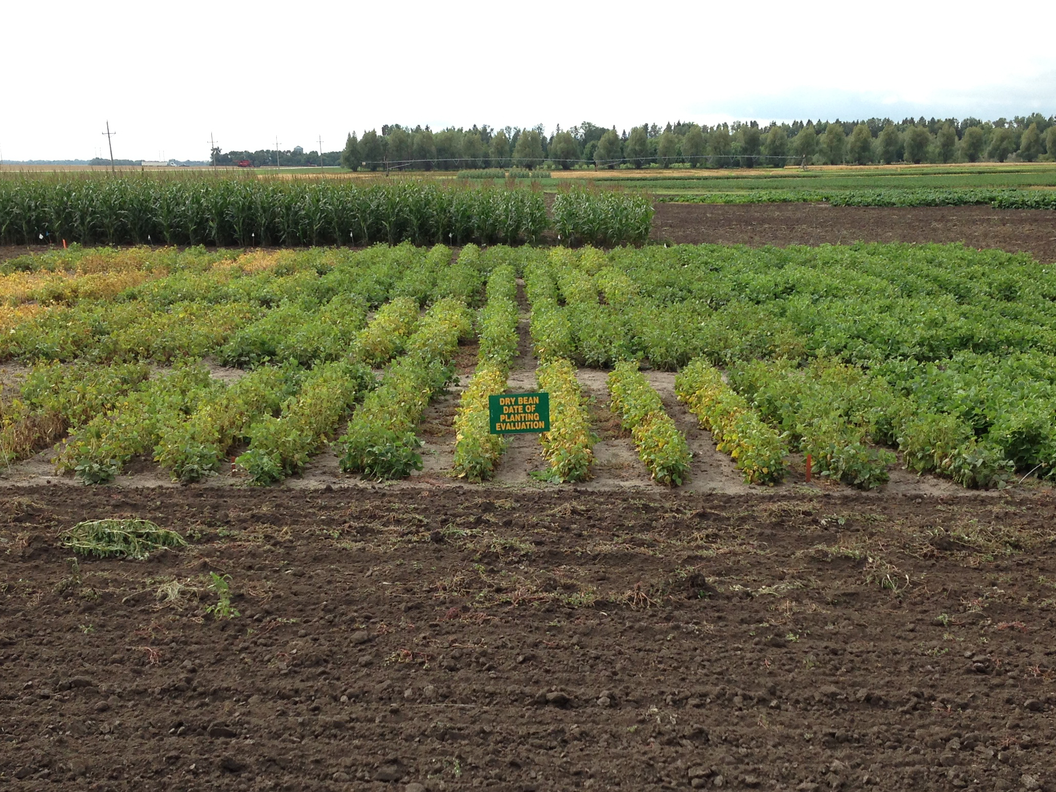 NDSU researchers find that planting dates have minimal impact on dry edible bean yields. (NDSU photo)