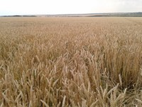North Dakota producers face strong competition from other wheat-growing areas of the world, such as this one in the Black Sea region of Russia. (NDSU photo)