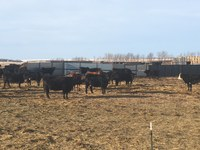 The late spring has delayed cattle being turned out on pasture. (NDSU photo)