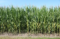 Corn accounted for 26 percent of Red River Valley total crop sales. (Pixabay Photo)