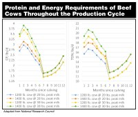 Protein and Energy Requirements of Beef Cows Throughout the Production Cycle