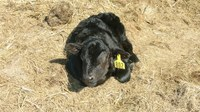 Poor cow nutrition and bad weather are the leading causes of weak calf syndrome. (NDSU photo)