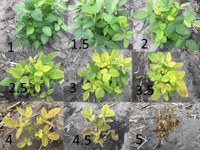 Varieties were rated using a 1 to 5 scale, with 1 representing no chlorosis and 5 being the most severe chlorosis. (NDSU Photo)