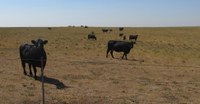 Producers have several ways to reduce the grazing pressure on their pastures if they are running short of good-quality forage. (NDSU photo)