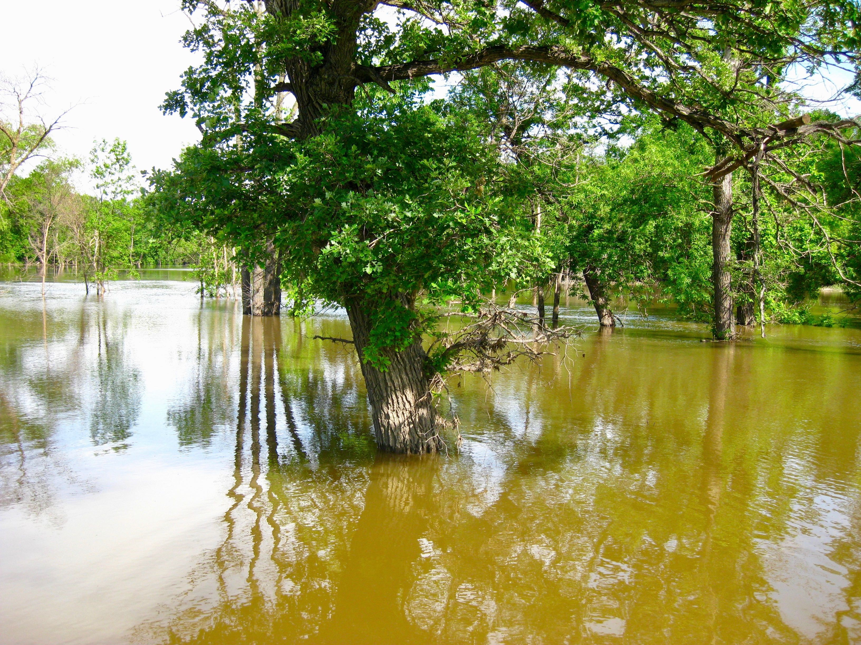 Bur oak trees that are submerged in the Red River, like this one near Fargo, can preserve a permanent record of flooding in their annual growth rings. (NDSU photo)