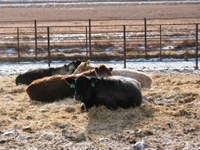 Hazardous substance reporting laws may affect livestock producers. (NDSU photo)