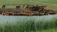 Cows stand in water to cool off on a hot summer day. (NDSU photo)
