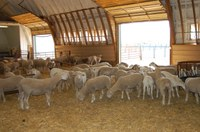 Producers will have an opportunity to see what sheep-working facilities and barns are available and how those structures could work on their operation. (NDSU photo)