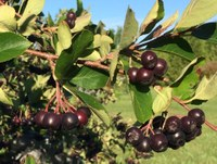 Aronia are among the fruits growing in the Northern Hardy Fruit Evaluation Project at the Carrington Research Extension Center. (NDSU photo)