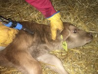 Now is the time to be protecting calves through vaccinations. (NDSU photo)
