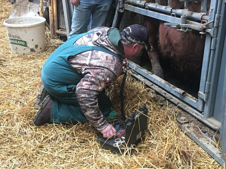A veterinarian performs a breeding soundness exam on a bull. (NDSU photo)