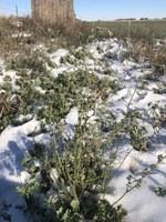 A killing freeze damaged this alfalfa crop. (NDSU photo)