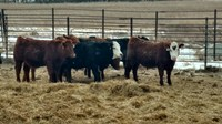 The feedout project shows producers how well their cattle can grow in a feedlot and what type of carcass the calves can produce. (NDSU photo)