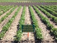 NDSU dry bean fertilizer trials (NDSU Photo)