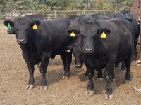 The North Dakota Angus University calf feed-out program gives producers an opportunity to see how their Angus-sired cattle perform in a feedlot. (NDSU photo)