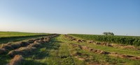 This alfalfa hay field in central North Dakota needs to dry before being baled. (NDSU photo)
