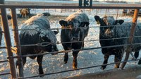 Many cow-calf producers are waiting until the end of this year to wean their calves. (NDSU photo)