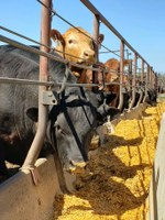 Steers in the Carrington Research Extension Center's feedlot are eating their daily ration. (NDSU photo)