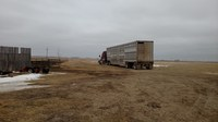 Hauling fat cattle to slaughter will require a trucker to be beef quality assurance certified. (NDSU photo)