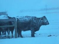 Winter weather has been hard on cattle in North Dakota this year. (NDSU photo)