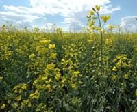 North Dakota producers planted nearly 1.6 million acres of canola in 2018. (NDSU photo)