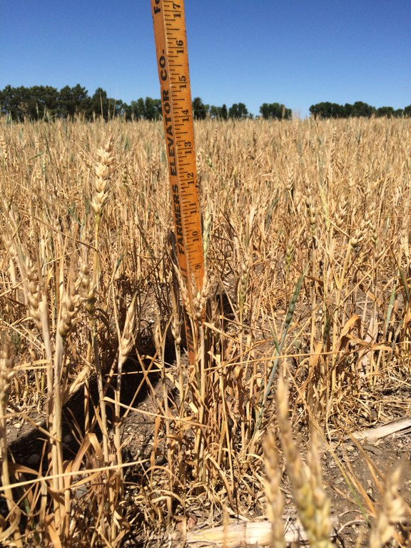 Drought can be stressful for farmers and ranchers. (NDSU photo)