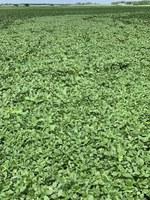 Palmer amaranth has spread across this North Dakota field. (NDSU photo)