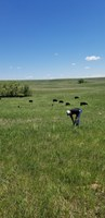 A producer samples standing forage as part of an Extension mineral program. (NDSU photo)