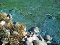 Cyanobacteria, also known as blue-green algae, can produce toxins that are harmful to livestock, wildlife and people. (Photo courtesy of the North Dakota Department of Environmental Quality)