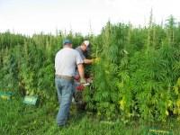 Langdon Research Extension Center researchers check out an industrial hemp plot. (NDSU photo)