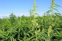 NDSU's Langdon Research Extension Center has been conducting industrial hemp variety trials since 2015. (NDSU Photo)