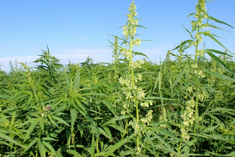 NDSU's Langdon Research Extension Center has been conducting industrial hemp variety trials since 2015. (NDSU Photo)