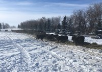 This winter's snowfall and frigid temperatures are forcing some livestock producers to use more feed than planned. (NDSU photo)