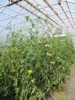 High tunnels can extend the fall and spring growing season of vegetables, fruits and herbs. (NDSU photo)