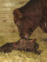 This winter's snowfall and bone-chilling temperatures have created diffcult calving conditions. (NDSU photo)