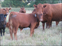 Use integrated pest management to protect livestock from flies. (NDSU Photo)