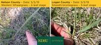 Despite what seemed like a late spring, grazing readiness seems to be on track across North Dakota. (NDSU photo)