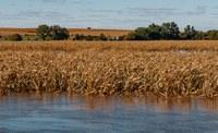 Flooded corn (Flickr: Tony Webster)
