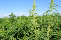Industrial hemp at the NDSU Langdon Research Extension Center. (NDSU Photo)
