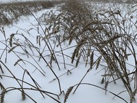 Snow has prevented wheat from being harvested in parts of North Dakota this fall. (NDSU photo)