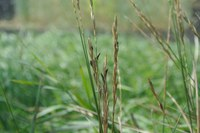 Ergot has developed on this quackgrass. (NDSU photo)