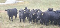 The feedout is an entry‐level way to learn about calf performance and value with three or four calves instead of the entire herd. (NDSU photo)