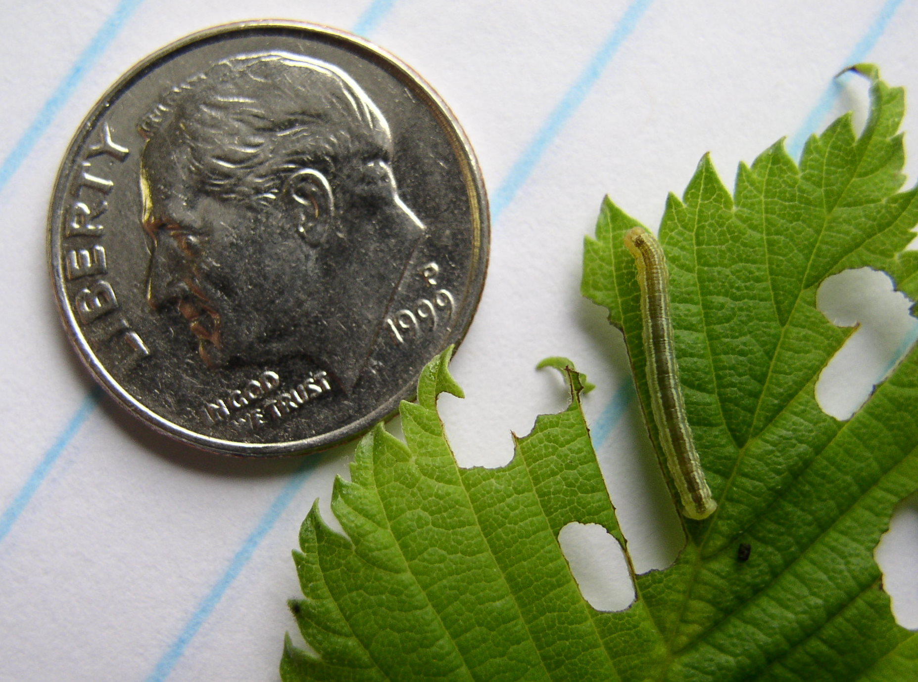 A caterpillar of the fall cankerworm chews on a leaf. (NDSU photo)