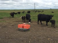 Minerals are a small but critical component of beef cow diets. (NDSU photo)